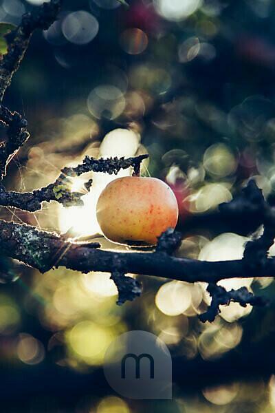 Ripe apple on tree, close-up