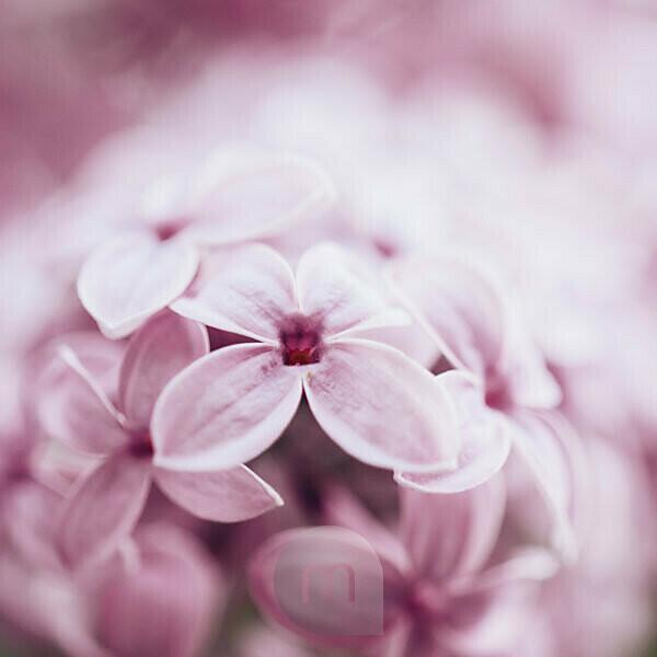 Pink blooming lilac, detail, Syringa