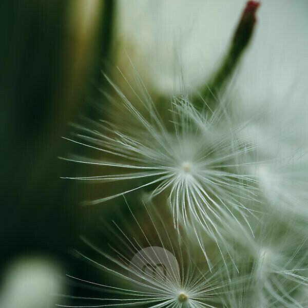 Dandelion in detail, close-up