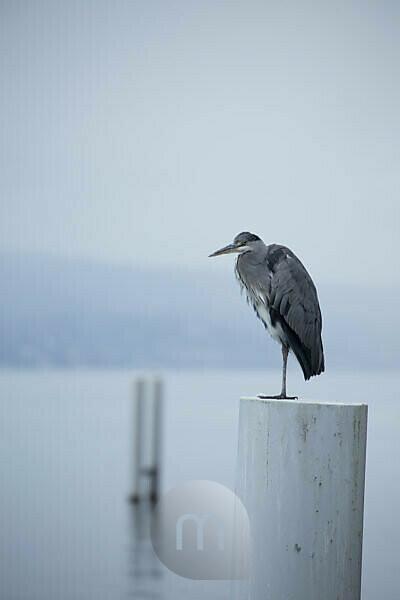 Heron, Cully, Vaud, Switzerland