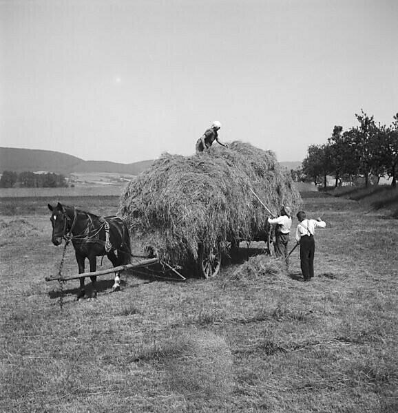 Harvesting hay, Germany 1930s.