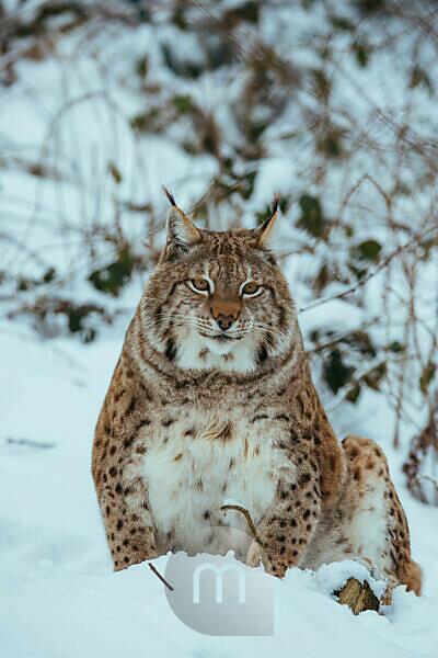 Eurasian lynx in the snow