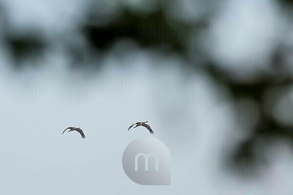 Cranes in Mecklenburg-Vorpommern