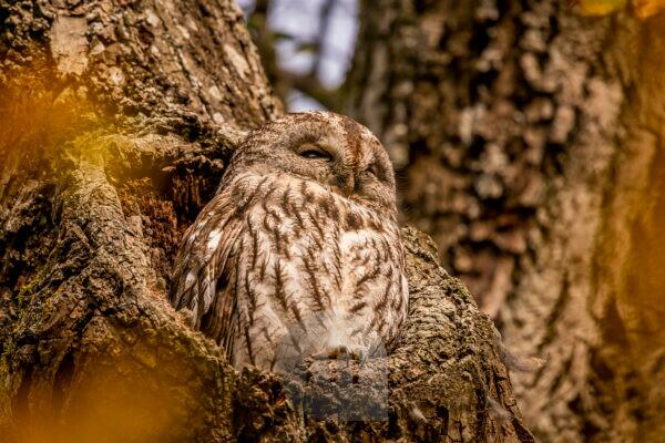 Tawny owl at its waiting area