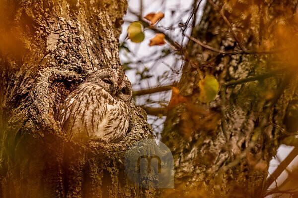 Waldkauz an seiner Sitzwarte