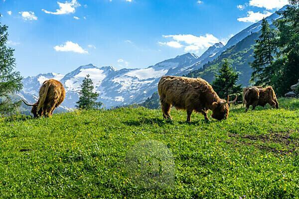 Europa, Österreich, Tirol, Ötztaler Alpen, Ötztal, Schottische Hochlandrinder vor Bergpanorama