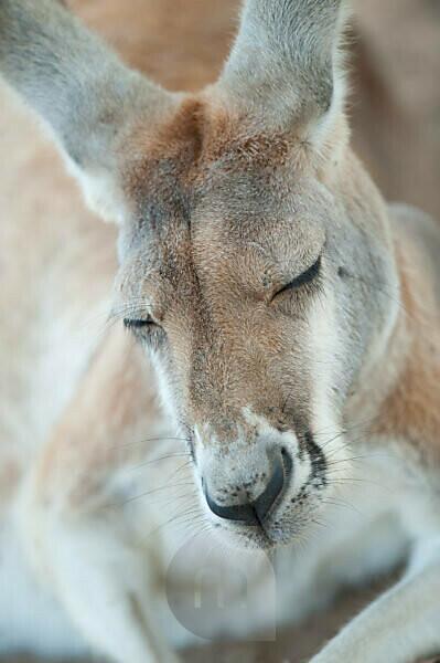 Eastern grey kangaroo (Macropus giganteus) sleeping, Lone Pine Koala Sanctuary, Brisbane, Queensland, Australia