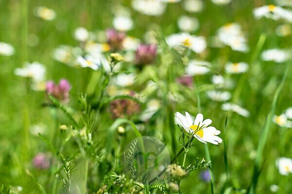 Europa, Österreich, Tirol, Ötztaler Alpen, Ötztal, Sommerliche Blumenwiese im Ötztal
