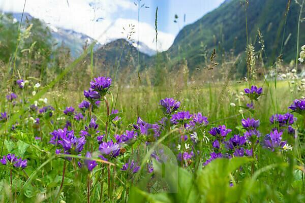 Europa, Österreich, Tirol, Ötztaler Alpen, Ötztal, Blumenwiese zwischen Huben und Längenfeld