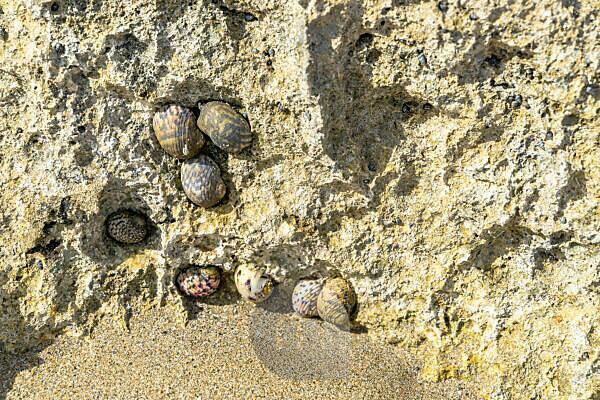 Amerika, Karibik, Große Antillen, Dominikanische Republik, Cabarete, Bunte Muscheln an einem Fels am Strand