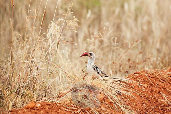 Kenia, Rotschnabeltoko, Amboseli Nationalpark