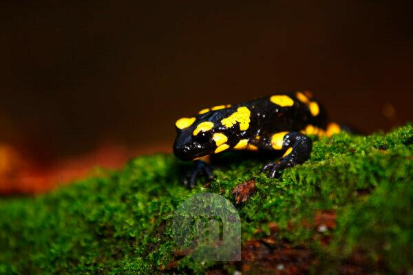 Fire salamander in Hasbruch, Hude, Germany